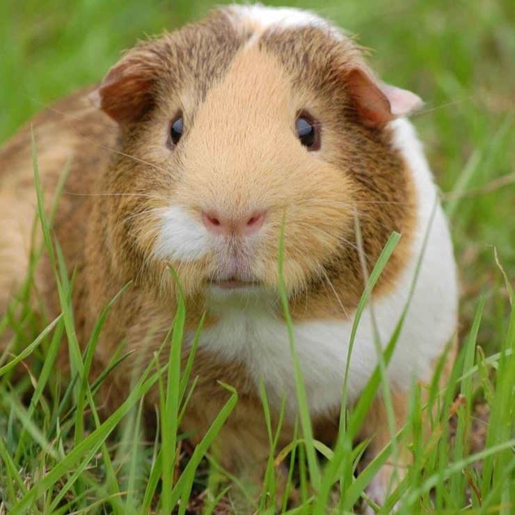 Guinea pig in grass close up