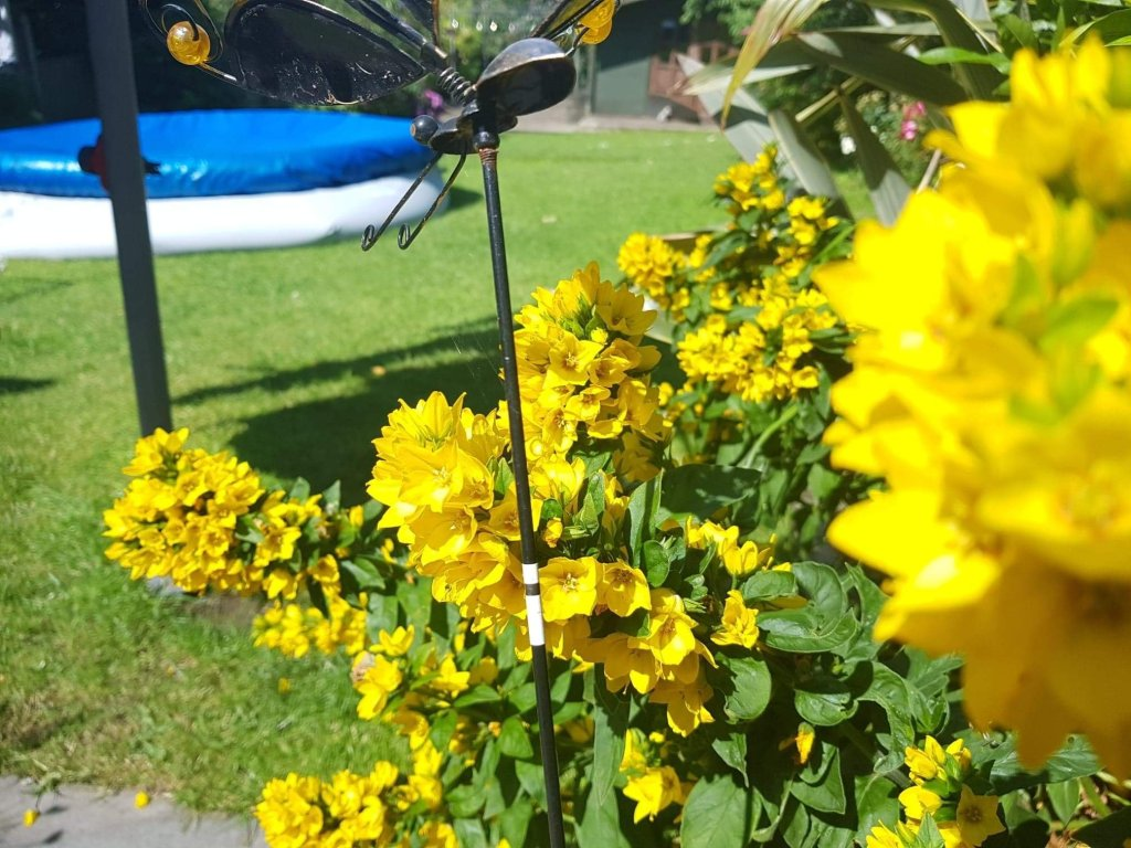Yellow flowers close up against garden ornament, lawn and covered pool on sunny day