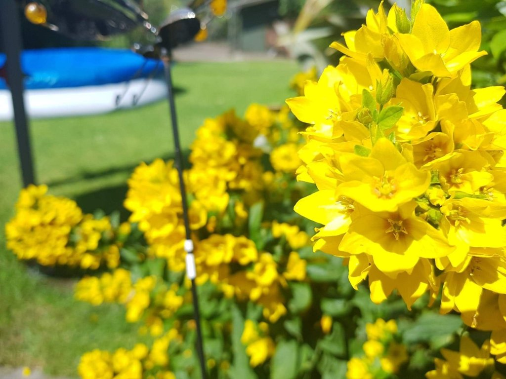 Yellow flowers focused and blurred against sunny garden lawn