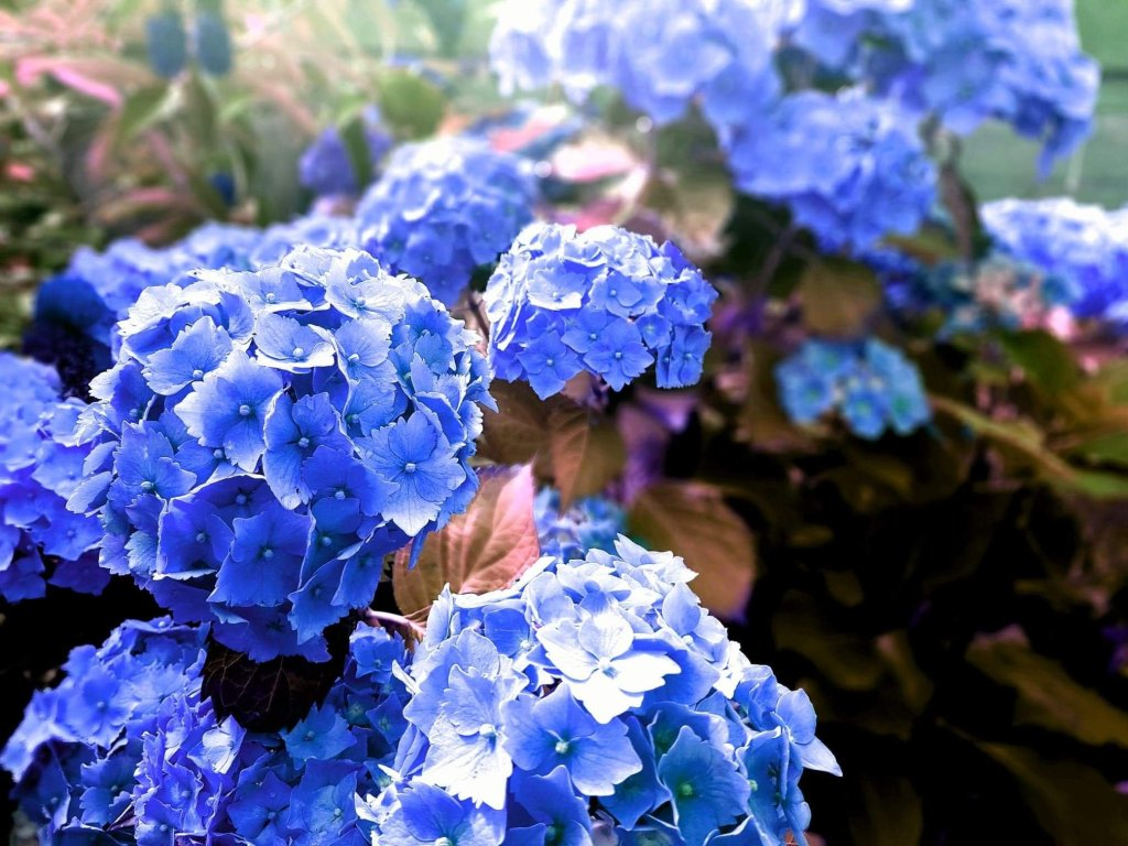 blue hydrangeas close up clear far away blurred
