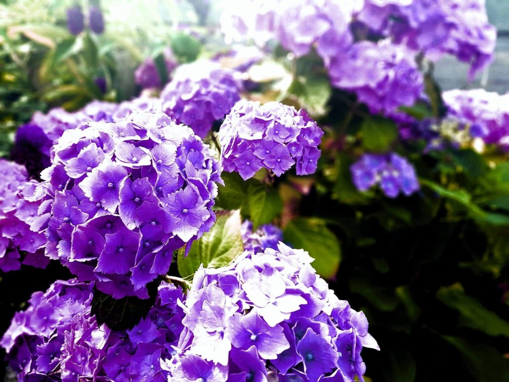 Purple colour filter on close up hydrangeas against blurred background