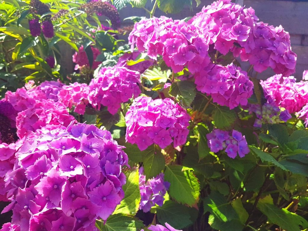 Pink hydrangeas foreground with purple flowers background sundappled